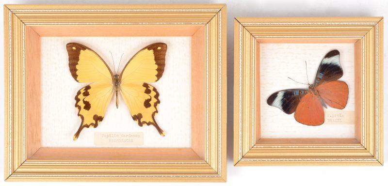 Een paar ingekaderde vlinders. Resp. P.Prola (Brazilië) en P. Dardanus.
