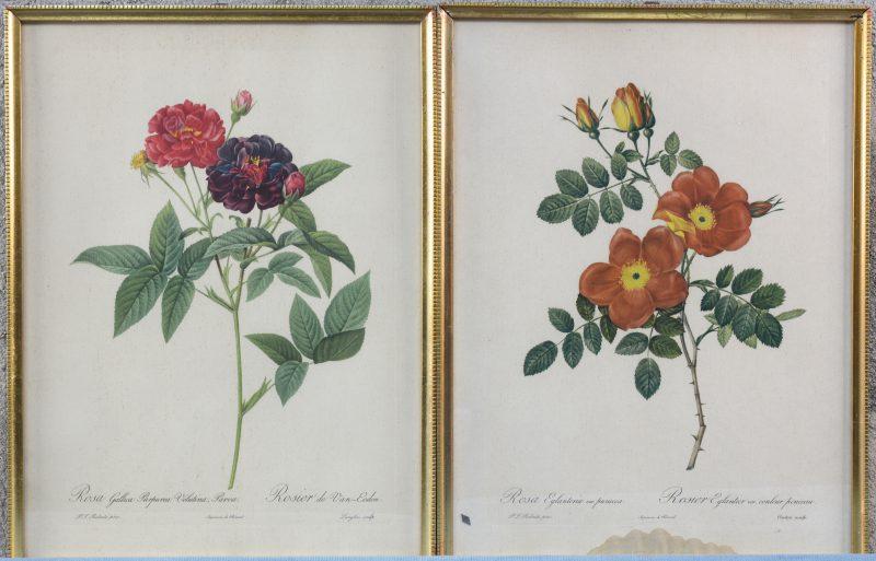 """""""Rosa Eglanteria"""" en """"Rosa Gallica"""". Een paar reproducties van gravures naar Redouté."""