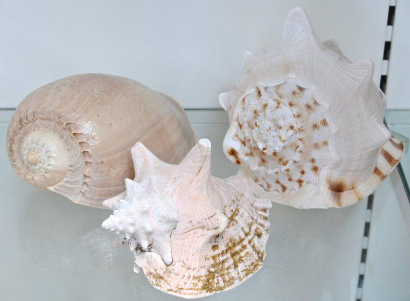 Drie grote strombusschelpen van verschillende soorten.