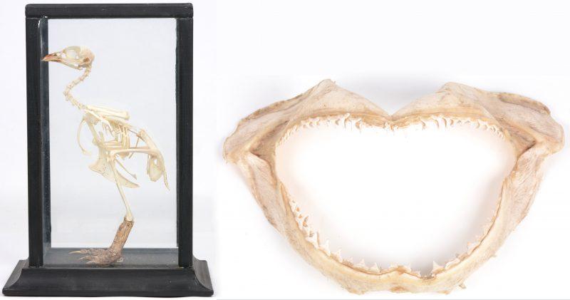 Een kaak van een haai en een opgezet vogeskelet in een vitrinetje.