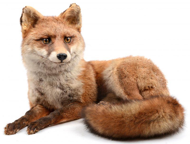 Een opgezette vos.
