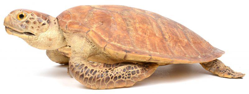 Een opgezette schildpad.