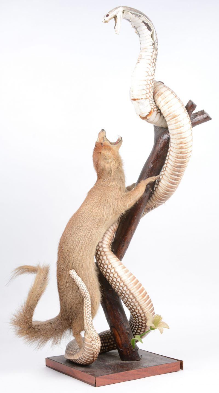 Een compositie met een opgezette vechtende mangoest en cobra. Slijtage aan de buik van de cobra.
