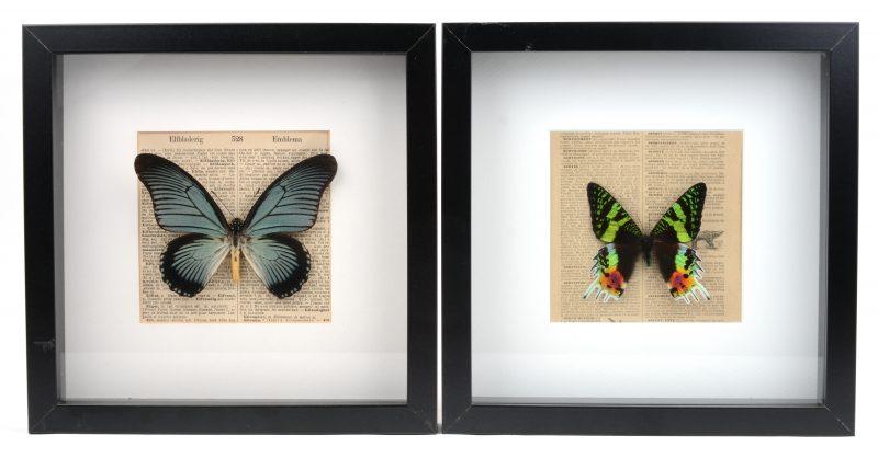 Twee ingekaderde tropische vlinders achter glas: Papilio Zalmoxis (Congo) & Urania Ripheus (Madagascar).