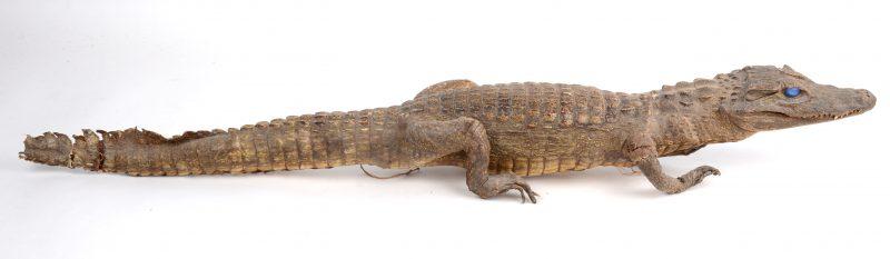 Een kleine opgezette alligator.
