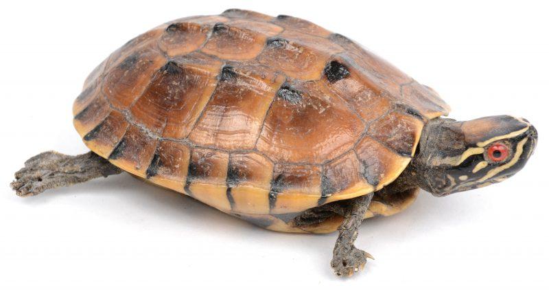 Een getaxidermeerde waterschildpad.